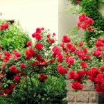5 правил выращивания садовых роз