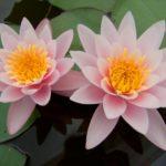 Глубоководные растения для пруда