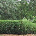 Живая изгородь на загородном участке – как сделать