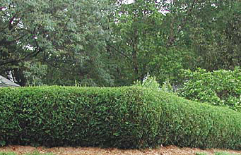 Живая изгородь на загородном участке - как сделать