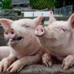 Pigprace – купить или продать мясо свинины оптом